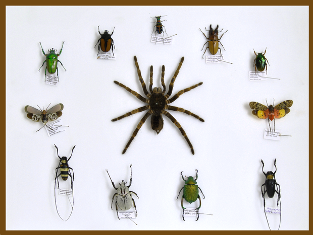 Mixed Tropical Insects - Insect Frame UK
