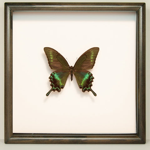 Chinese Peacock Butterfly Black Frame, Butterfly Frame - Insect Frame UK, Insect Frame UK  - 1