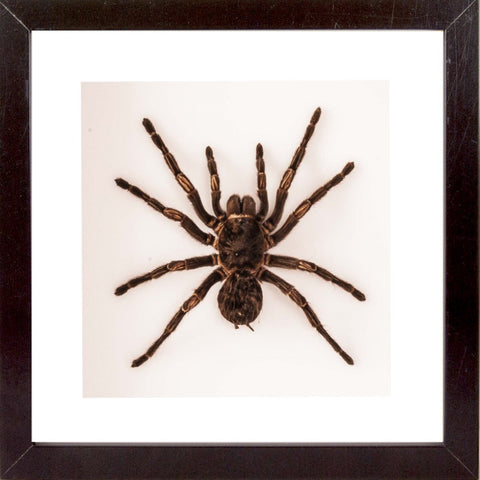 Costa Rican Zebra Tarantula Type B Black 25x25, Spider Frame - Insect Frame UK, Insect Frame UK  - 1