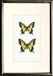 Papilio Machaon Gorganus Solid wood DUO 21x30x5 Black, Butterfly Frame - Insect Frame UK, Insect Frame UK  - 1