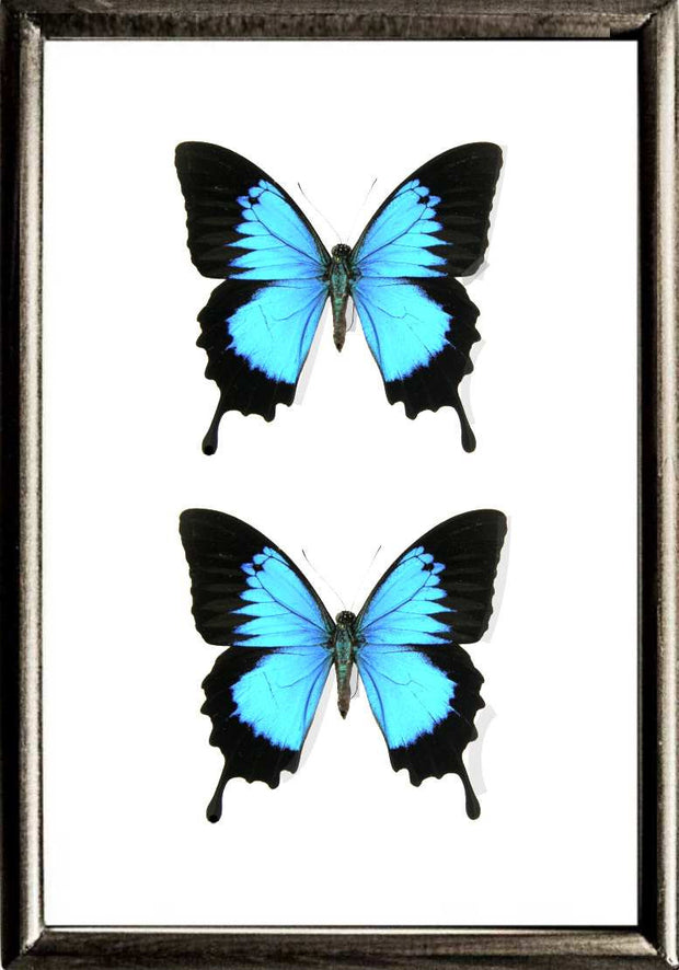 Blue Mountain Solid wood 21x30 DUO  Black, Butterfly Frame - Insect Frame UK, Insect Frame UK  - 2