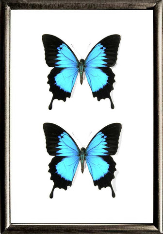 Blue Mountain Solid wood 21x30 DUO  Black, Butterfly Frame - Insect Frame UK, Insect Frame UK  - 1