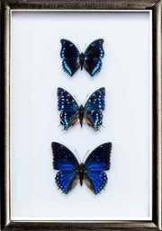 """Out of the Blue"" Collection Trio blue 21x30 on black frame, Butterfly Frame - Insect Frame UK, Insect Frame UK  - 1"