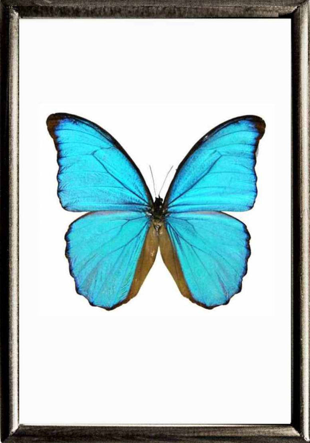 Framed Blue Morpho Didius Morpho Didius solid wood black, Butterfly Frame - Insect Frame UK, Insect Frame UK  - 2