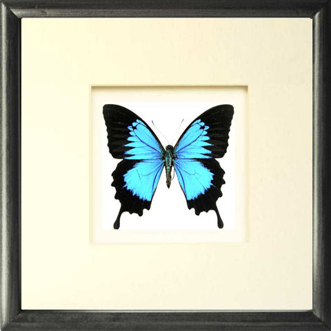 Blue Mountain Solid wood 25x25  Black, Butterfly Frame - Insect Frame UK, Insect Frame UK  - 1