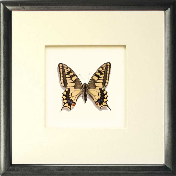 Papilio Machaon Gorganus Solid wood 25x25x5 Black, Butterfly Frame - Insect Frame UK, Insect Frame UK  - 3