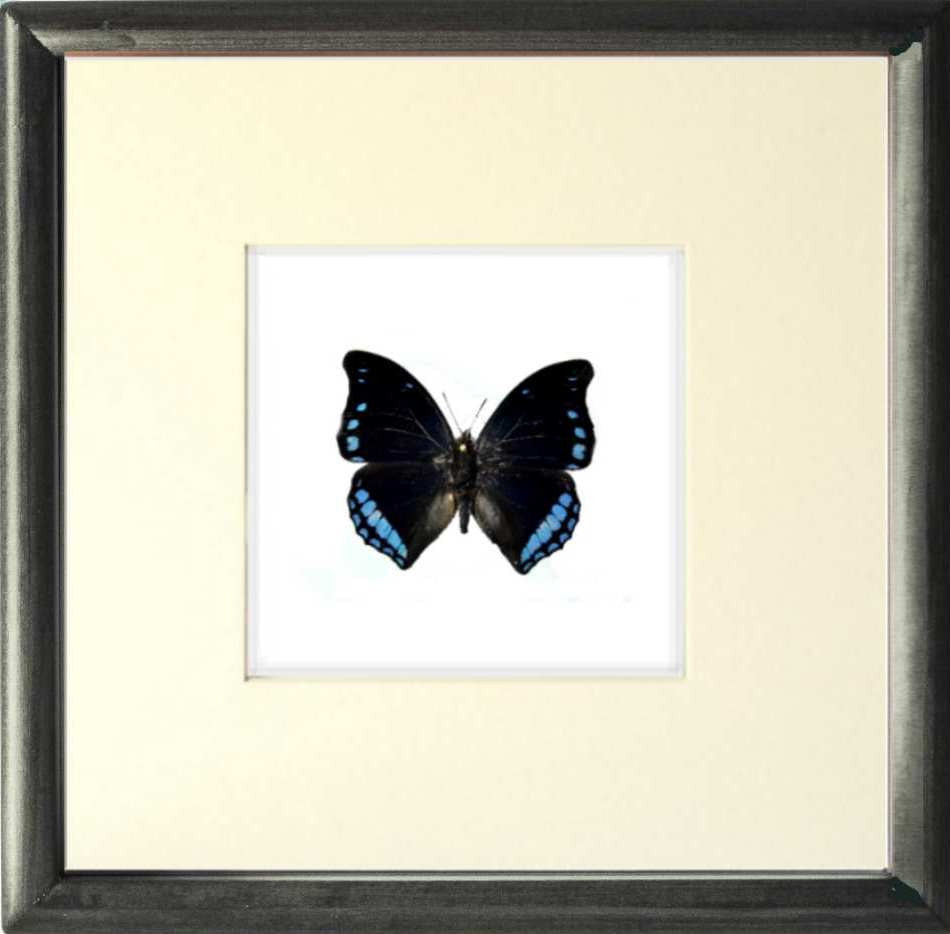 Laodice Untailed Charaxes Solid wood Black 25x25x5, Butterfly Frame - Insect Frame UK, Insect Frame UK  - 1