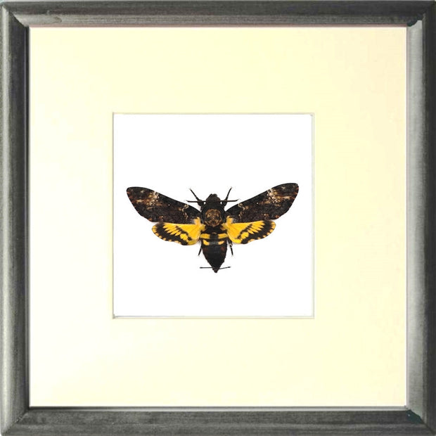 Framed Death's Head Hawk Moth Black framed Acherontia atropos, Moth Frame - Insect Frame UK, Insect Frame UK  - 3