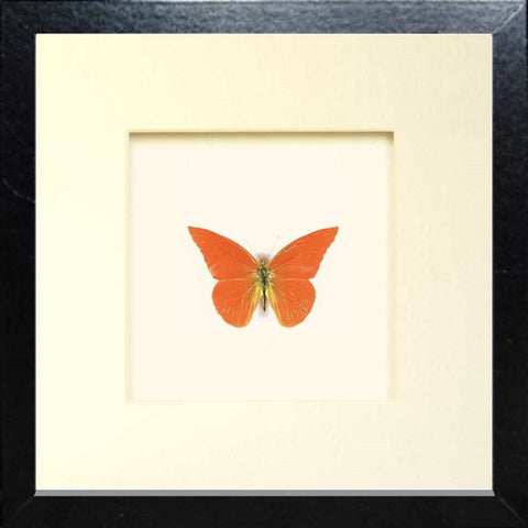 Framed Orange Albatross Fiberboard 25x25 black, Butterfly Frame - Insect Frame UK, Insect Frame UK  - 1