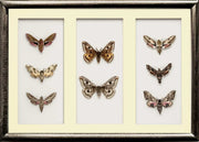 Lepidoptera Nocturnal Moths Collection - Insect Frame UK