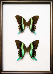 Peacock Blumei Solid wood 25x35 Duo black, Butterfly Frame - Insect Frame UK, Insect Frame UK  - 4