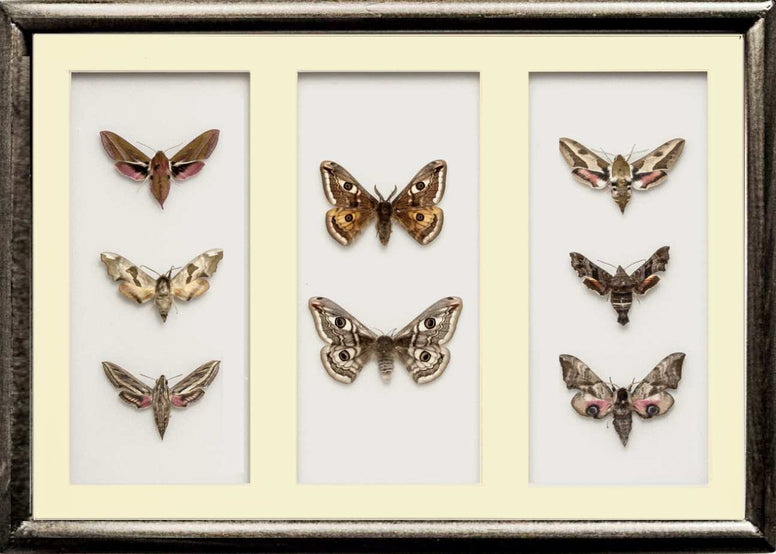 Lepidoptera Nocturnal Moths Collection 25x35x5  - dark brown, white or black, Natural History Collection - Insect Frame UK, Insect Frame UK  - 2