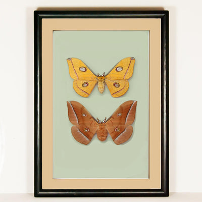 Antheraea Pernyi - Golden Autumn Collection - Insect Frame UK