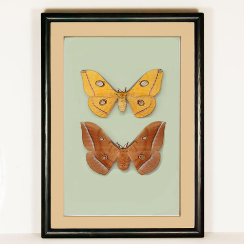 Antheraea Pernyi - Golden Autumn Collection Black, Moth Frame - Insect Frame UK, Insect Frame UK  - 1