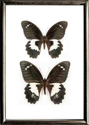 Gambrisius Butterfly - Insect Frame UK