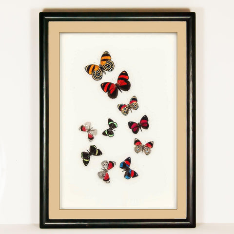 Art with Callicores Black, Butterfly Frame - Insect Frame UK, Insect Frame UK  - 2