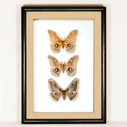 Polyphemus and Peacock Moths Trittico on solid wood 25x35x5 black, Moth Frame - Insect Frame UK, Insect Frame UK  - 1