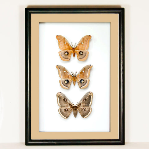 Polyphemus and Peacock Moths - Insect Frame UK