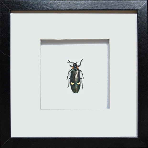 Giant Jewel Beetle- Megaloxantha bicolor Black Single Megaloxantha, Beetle Frame - Insect Frame UK, Insect Frame UK  - 4