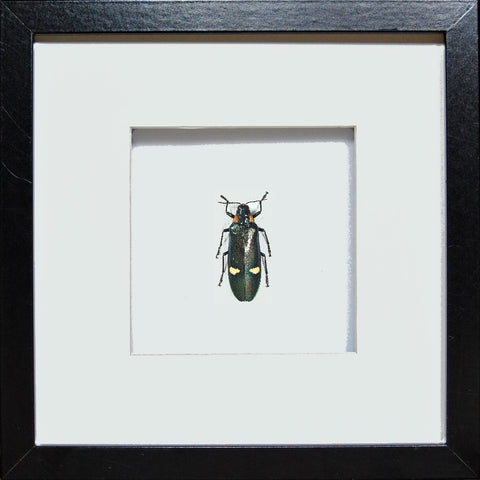 Giant Jewel Beetle Black frame, Beetle Frame - Insect Frame UK, Insect Frame UK  - 1