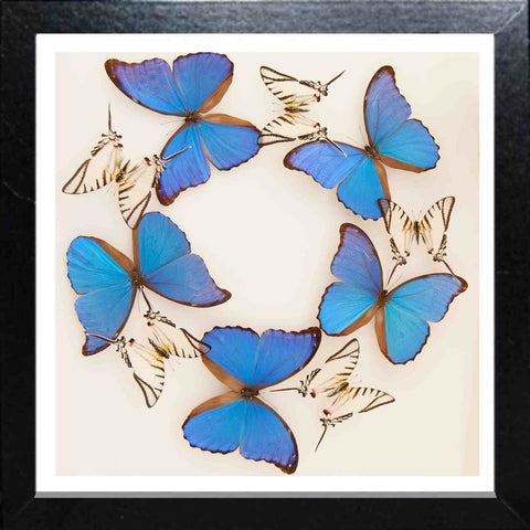 Butterflies Panels Black, Butterfly Frame - Insect Frame UK, Insect Frame UK  - 1