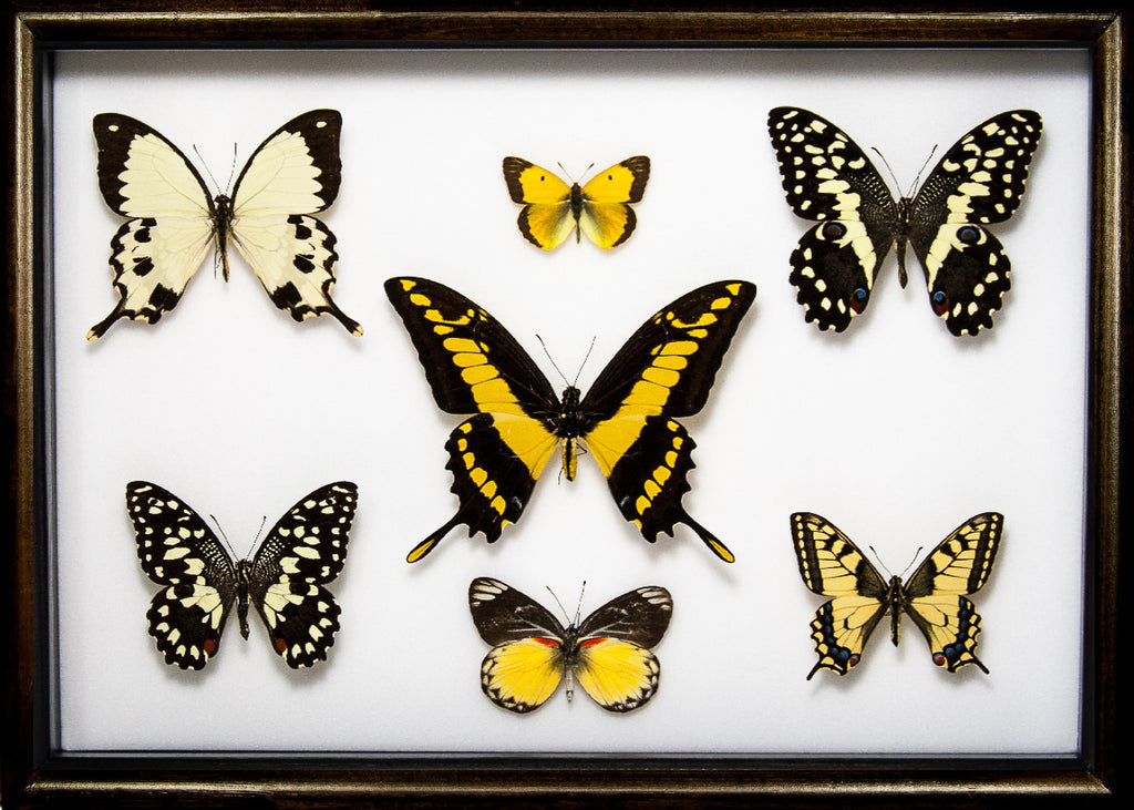 Yellow Insects Collection Thoughts in black, Butterfly Frame - Insect Frame UK, Insect Frame UK  - 1