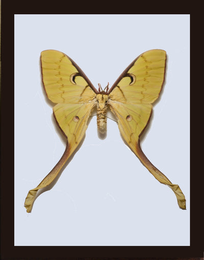 Malaysian Moon Moth - Insect Frame UK