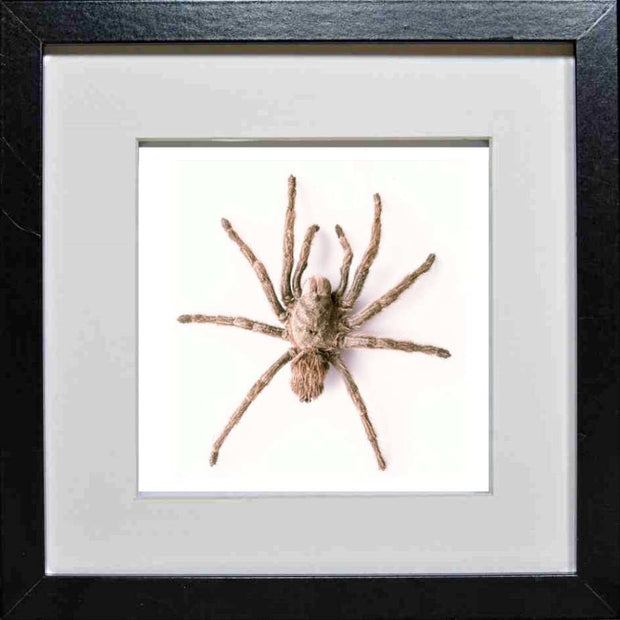 Chilean Rose Tarantula Type B 25x25 black, Spider Frame - Insect Frame UK, Insect Frame UK  - 3