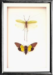 Cicadas Crickets Collection Cicadas and Cricket in black frame3, Insect Frame - Insect Frame UK, Insect Frame UK  - 3