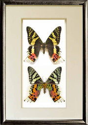 Chrysiridia Rhipheus Solid wood 21x30 black, Butterfly Frame - Insect Frame UK, Insect Frame UK  - 3
