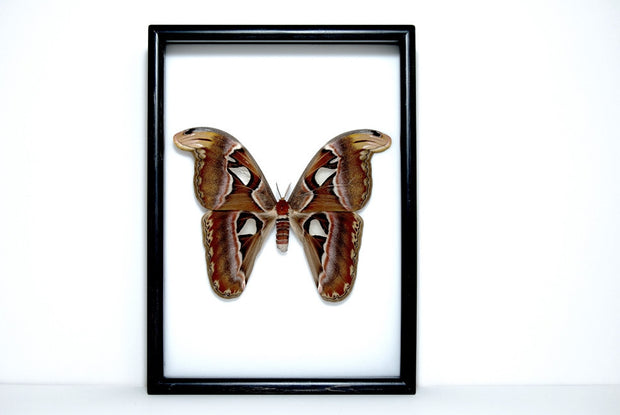 Framed Giant Atlas Moth Solid wood Black frame, Moth Frame - Insect Frame UK, Insect Frame UK  - 4
