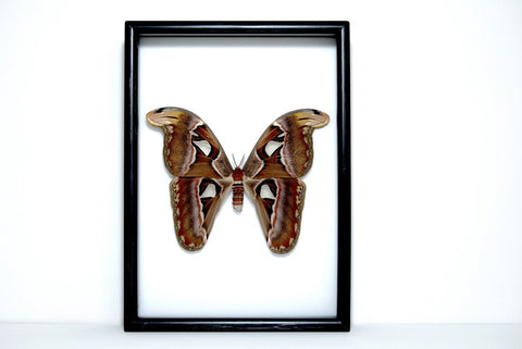Framed Giant Atlas Moth Solid wood Black frame, Moth Frame - Insect Frame UK, Insect Frame UK  - 1