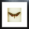 Sphinx  Adhemarius Gannascus Sphinx black f., Moth Frame - Insect Frame UK, Insect Frame UK  - 3