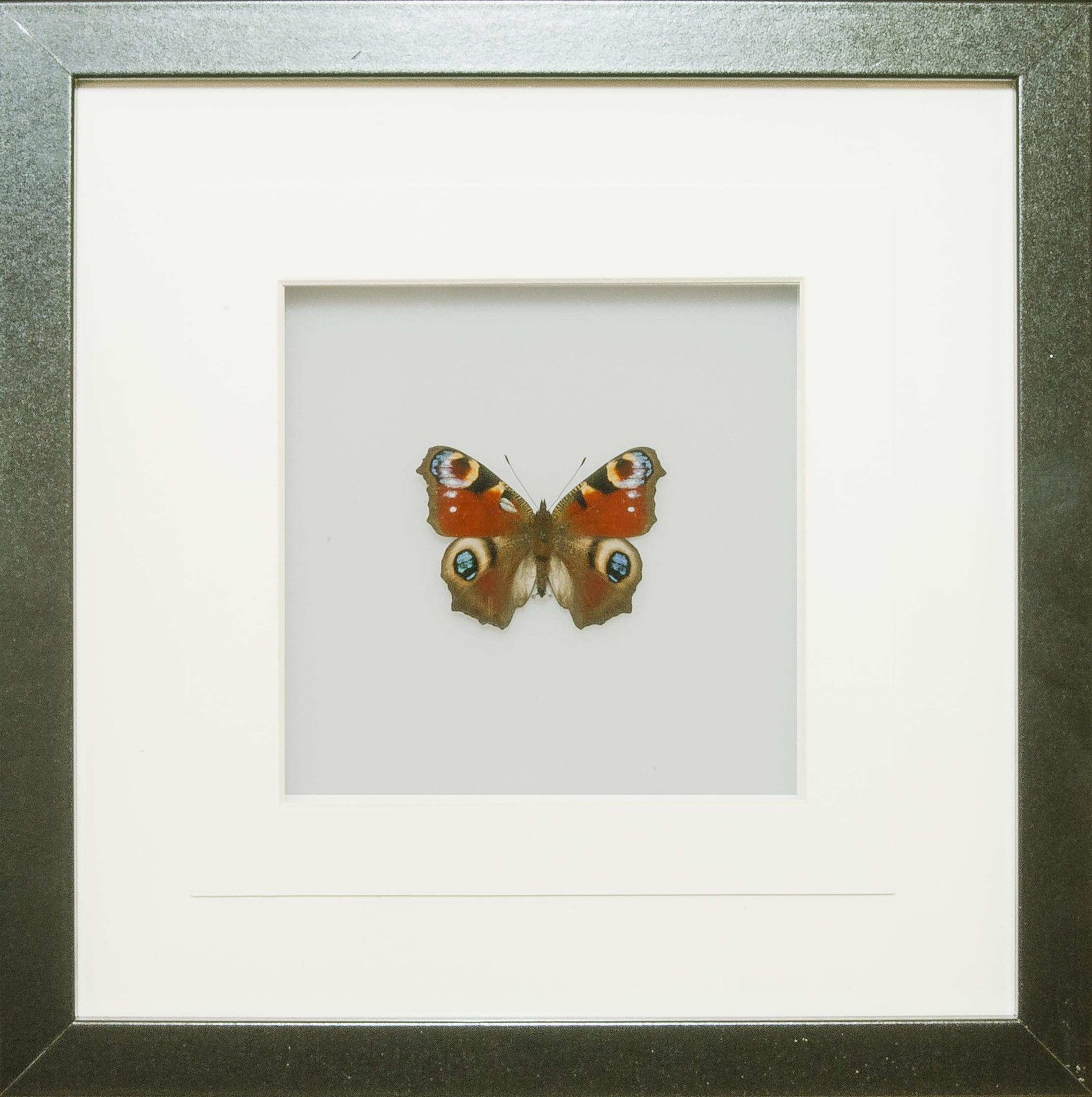 A lovely little framed peacock butterfly in a handmade frame peacock butterfly black frame white background butterfly frame insect frame uk insect jeuxipadfo Gallery