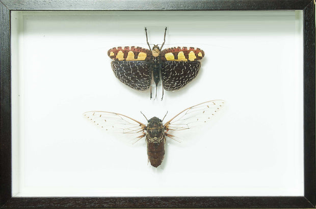 Grasshopper Soldier and Clearwing Cicada - Insect Frame UK
