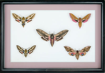 British Hawkmoths - Insect Frame UK