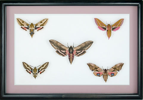 British Hawkmoths Black (no mount), Moth Frame - Insect Frame UK, Insect Frame UK  - 1
