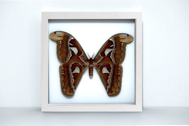 Framed Giant Atlas Moth White Frame - White Background, Moth Frame - Insect Frame UK, Insect Frame UK  - 2
