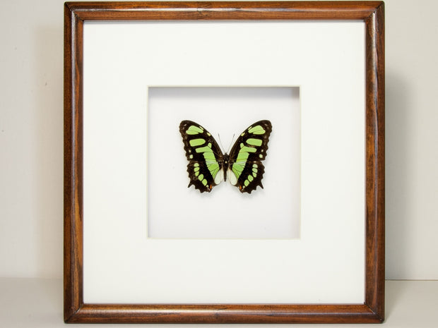 Malachite Collection or Siproeta stelenes Top side, Butterfly Frame - Insect Frame UK, Insect Frame UK  - 3