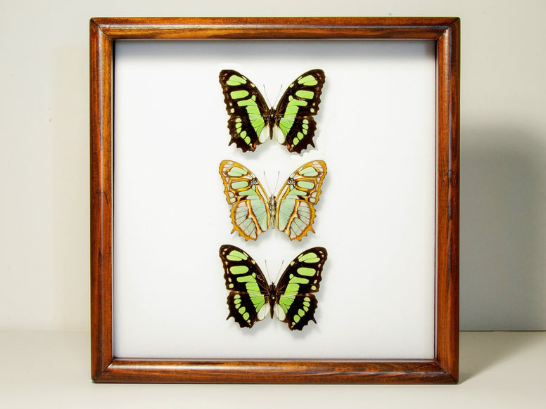 Malachite Collection or Siproeta stelenes Both sides, Butterfly Frame - Insect Frame UK, Insect Frame UK  - 1