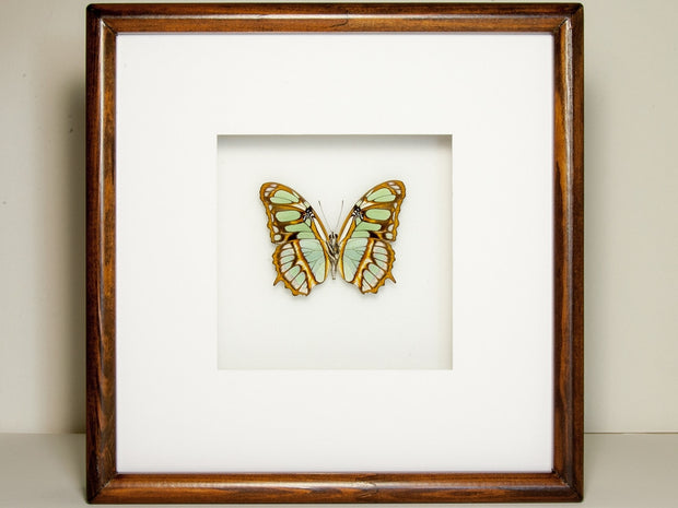 Malachite Collection or Siproeta stelenes Rear side, Butterfly Frame - Insect Frame UK, Insect Frame UK  - 2