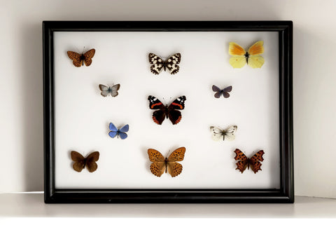 British Butterflies collection 25x35, Natural History Collection - Insect Frame UK, Insect Frame UK  - 2