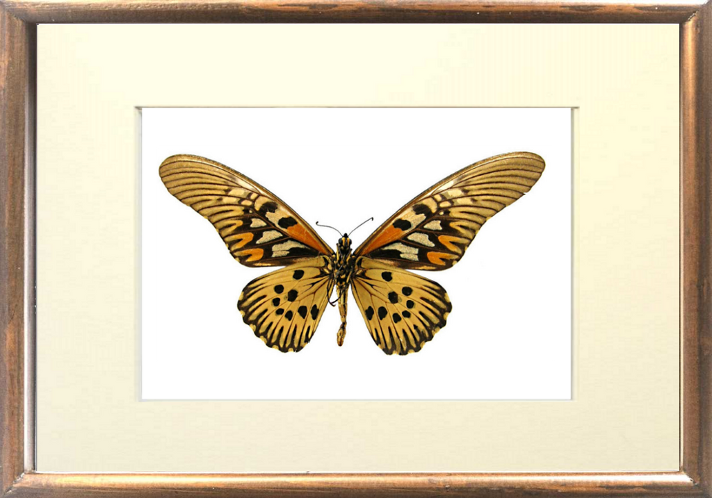 Giant African Swallowtail 21x30x5 solidwood brown, Butterfly Frame - Insect Frame UK, Insect Frame UK