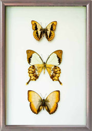 Golden Out of Africa Collection Dark Brown Solid wood 25x35 brown, Accessories - Insect Frame UK, Insect Frame UK  - 3