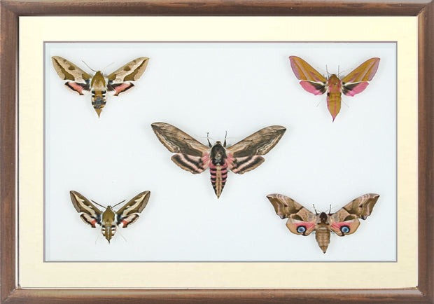 British Hawkmoths Brown, Moth Frame - Insect Frame UK, Insect Frame UK  - 4