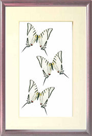Eurytides Glaucolaus Leucas Eurytides on Solid wood 21x30 brown, Butterfly Frame - Insect Frame UK, Insect Frame UK  - 4