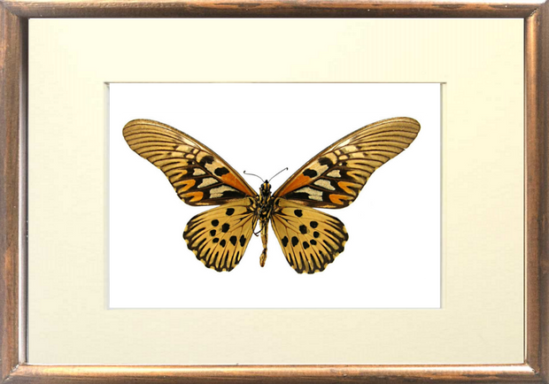 Giant African Swallowtail - Insect Frame UK