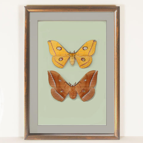 Antheraea Pernyi - Golden Autumn Collection Brown, Moth Frame - Insect Frame UK, Insect Frame UK  - 2
