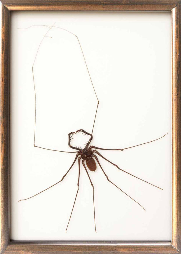 Whip Scorpion Whip Scorpion in brown frame, Scorpion Frame - Insect Frame UK, Insect Frame UK  - 4