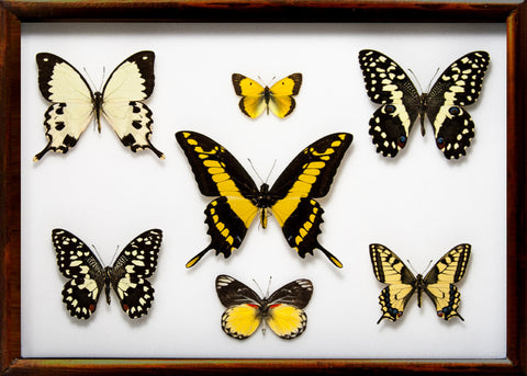 Yellow Insects Collection - Insect Frame UK